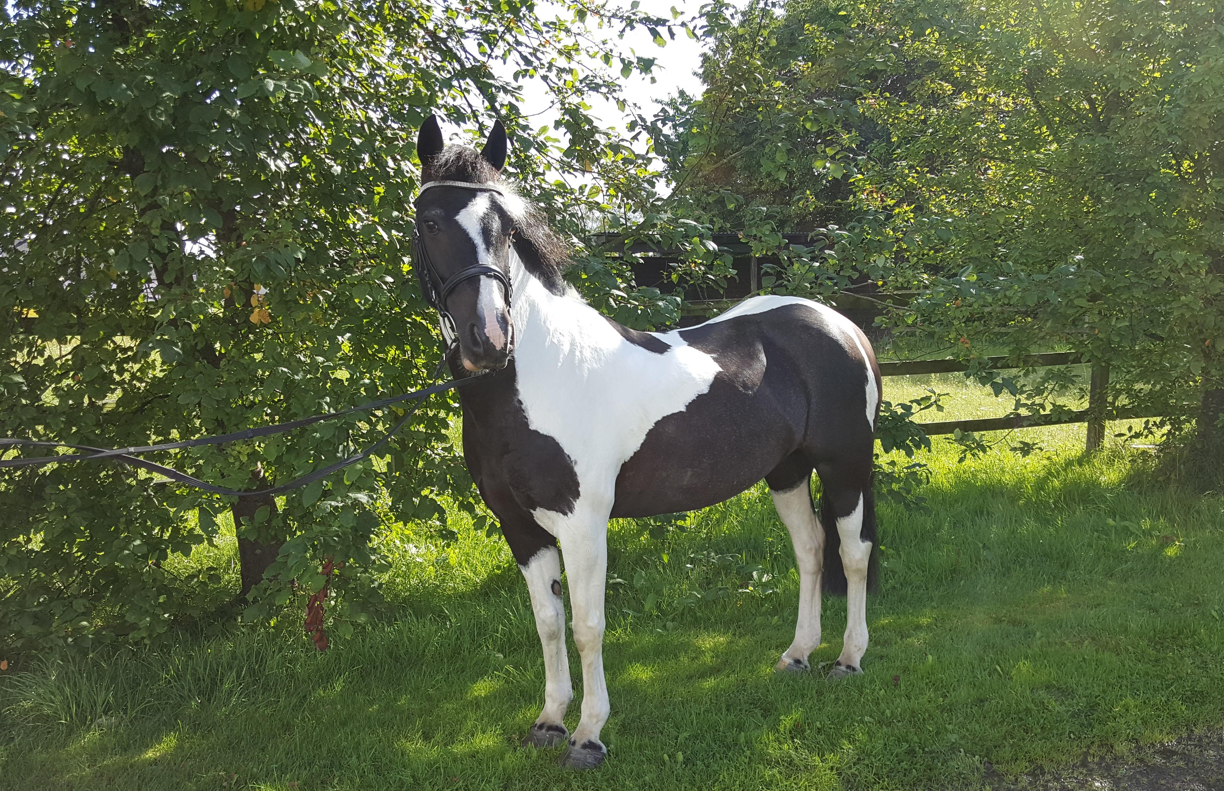 hästar till salu skåne